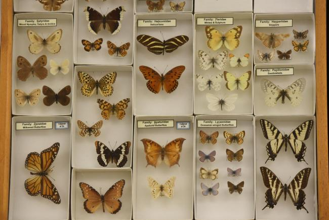 Museum Butterfly Display